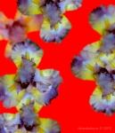 Iris 'Cactus Rio'