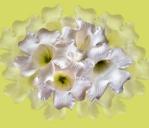Beaumontia grandiflora 'Easter Lily Vine'