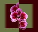 Phalaenopsis 'Kelly'