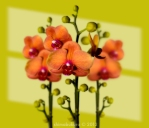 Gretel's phalaenopsis