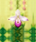 Orchid 'Shannon'