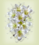 Lilium longiflorum, 'Easter lily'