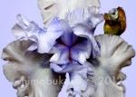 Iris 'Betye B'