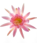 Epiphyllum 'Lexi'