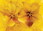 Fremontodendron_A