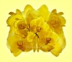 Phaleanopsis 'Canary'