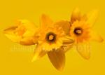 King Alfred Daffodil_A