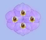 Phalaenopsis 'Lavender Bouquet'