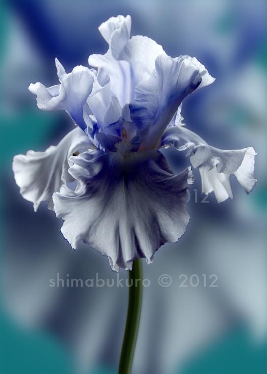 Iris 'Monell'