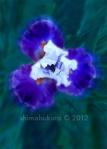 Iris 'Afterlife'