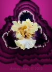 Iris 'Cosmic Elegance'