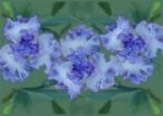 Iris 'Geode'