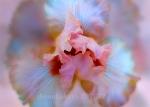 Iris 'Tickled Pink'