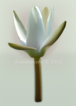 Water lily 'Alba'