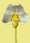 Paphiopedilum orchid 'Arabella'
