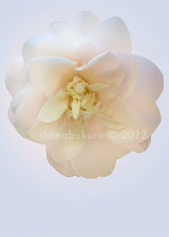 Camilla japonica 'Florence Hudson'