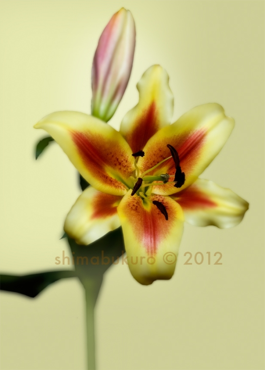 Lilium 'Michele Obama'