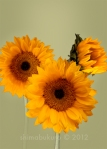 Sunflower 'St. James' Helianthus annus