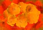 Eschscholzia californica 'California Poppy'