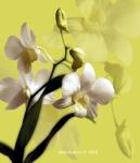 Orchid 'Alba'